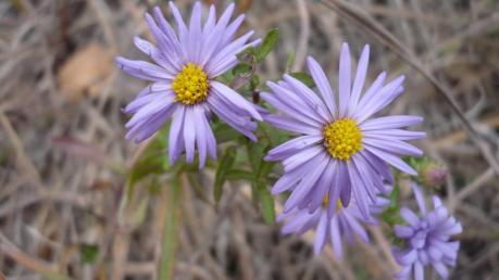 Symphyotrichum oblongifolium_Fall_Aster_Aromatic__Texas_Austin_Native_Plants_Landscaping