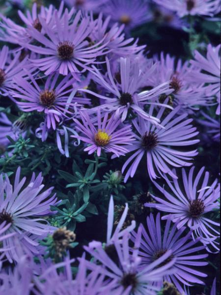 Symphyotrichum oblongifolium_Fall_Aster_Aromatic__best_plants_for_texas_xeriscapes_design