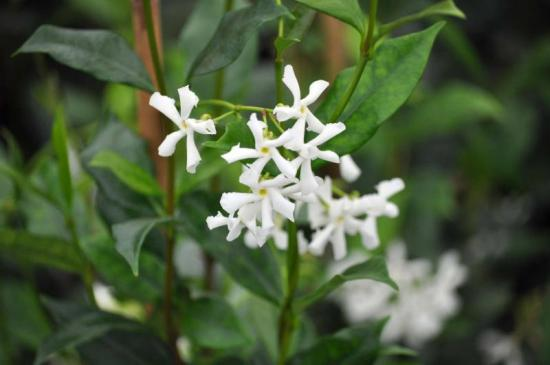 Trachelospermum jasminoides_Confederate_Jasmine_best_texas_plants_for_xeriscapes_design