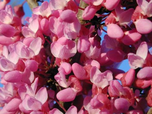 canadensis var. texensis_Texas_Redbud_Austin_Native_Landscaping