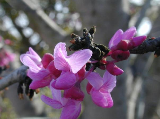 canadensis var. texensis_Texas_Redbud_Best_Texas_Native_Tree_Plant
