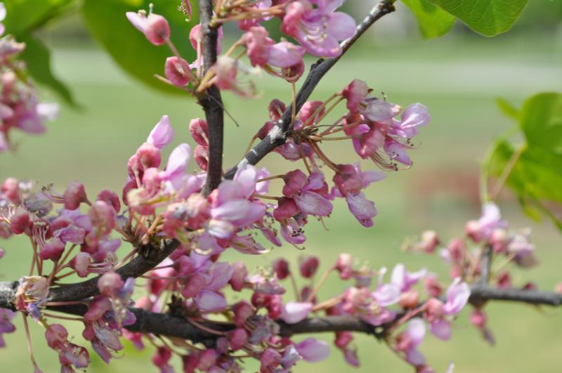 canadensis var. texensis_Texas_Redbud_Xeriscaping_Austin_Central)texas_Tree_Plant
