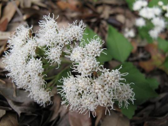 Eupatorium-havanense-White_Mistflower-Texas-Native-Plant-Landscape-Contractor