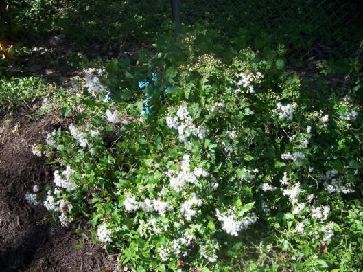 Eupatorium-havanense-White_Mistflower-Texas-Native-Plant-Xeriscape-Design_Austin