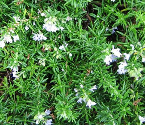 Rosmarinus-officinalis-Trailing-Rosemary-Xeriscape-Design-Austin-Evergreen-Landscaping