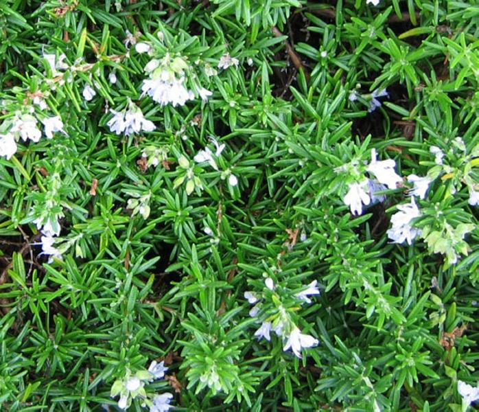 Rosmarinus-officinalis-Trailing-Rosemary-Xeriscape-Design-Austin-Evergreen-Landscaping
