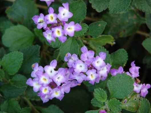 Lantana-montevidensis-Trailing-Lantana-Weeping-Lantana-Drought-Tolerant-Groundcover