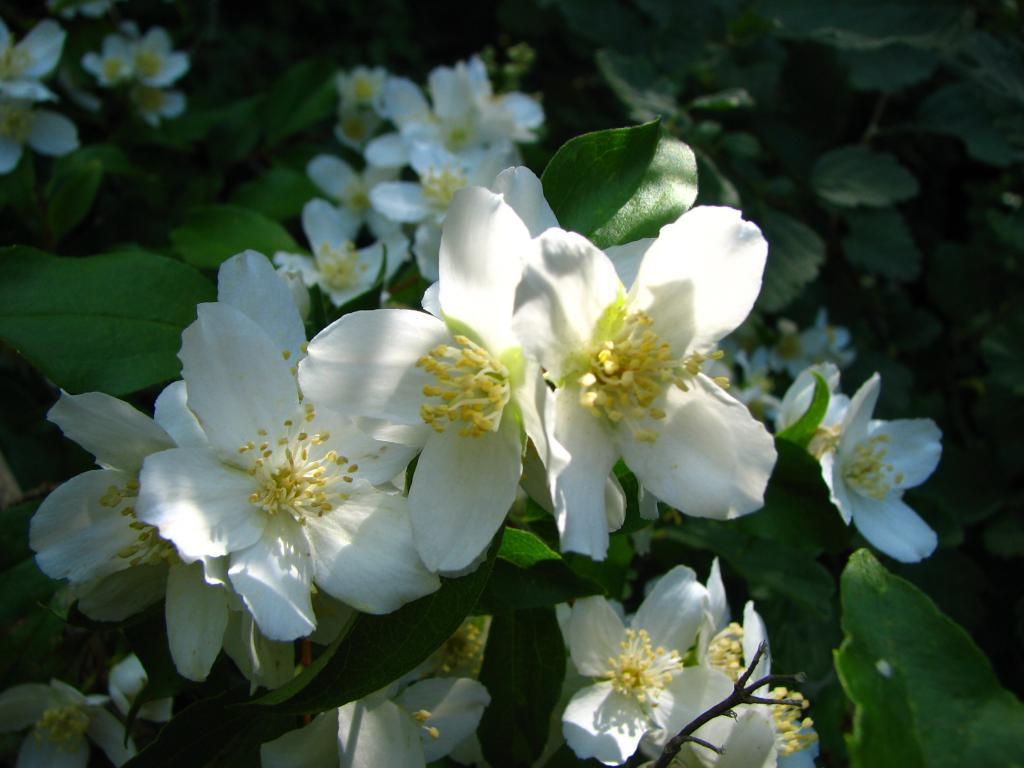Philadelphus-coronarius-Sweet-Mock-Orange-English-Dogwood-Deer-Resistant-Landscaping