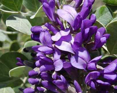 Sophora-secundiflora-Texas-Mountain-Laurel-Mescal-Bean-Austin-Texas-Xeriscape-Designer