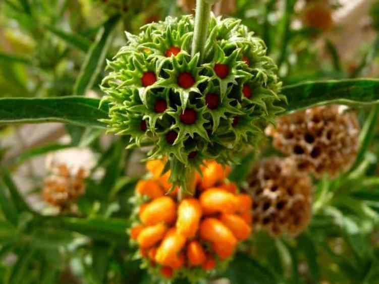 Leonotis_leonuru _Lions_Tail_Wild_Dagga_Lions_Ear_Landscaper_Austin_Texas_Native_Plants