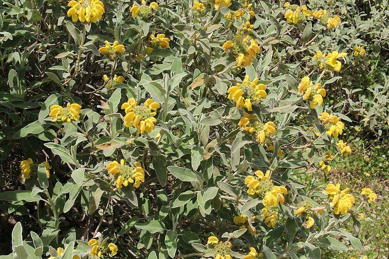 Phlomis_fruticosa_Jerusalem_Sage_Texas_Native_Plants_Landscaping_Austin