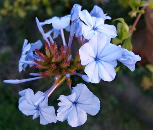 Plumbago_auriculata_Plumbago_Cape_Leadwort_Texas_Native_Plants_Austin
