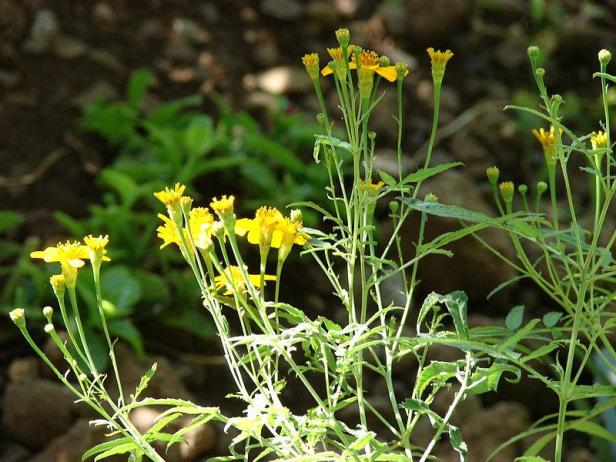 Tagetes_lucida_Mexican_Mint_Marigold_Yerbis_Anis_Spanish_Tarragon_Texas_Tarragon_Sweet_Mace_Drought_Resistant_Plants