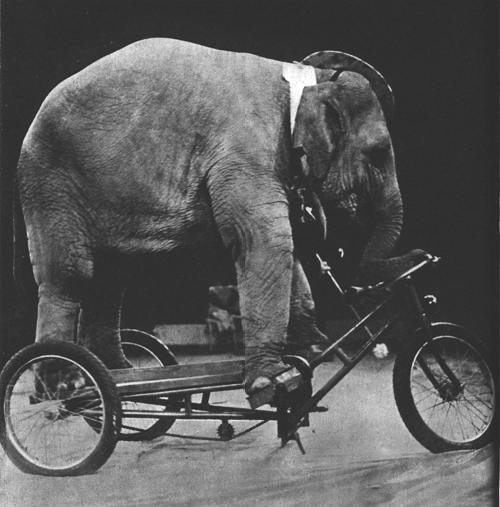 Elephant training to be a pedicabber.