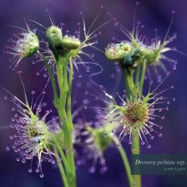 """""""Drosera peltata ssp. auriculata"""" by Lynette Eggins"""
