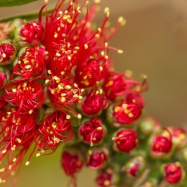 """Callistemon citrinus"" by Iveeh Coombs"