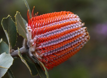"""Banksia coccinea"" by Marian Crawford"