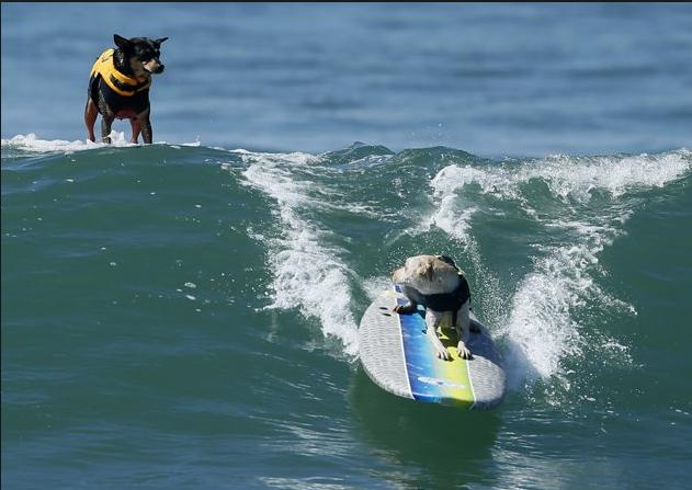 Even dogs can surf