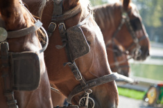 Blinders on Harnessed Horses