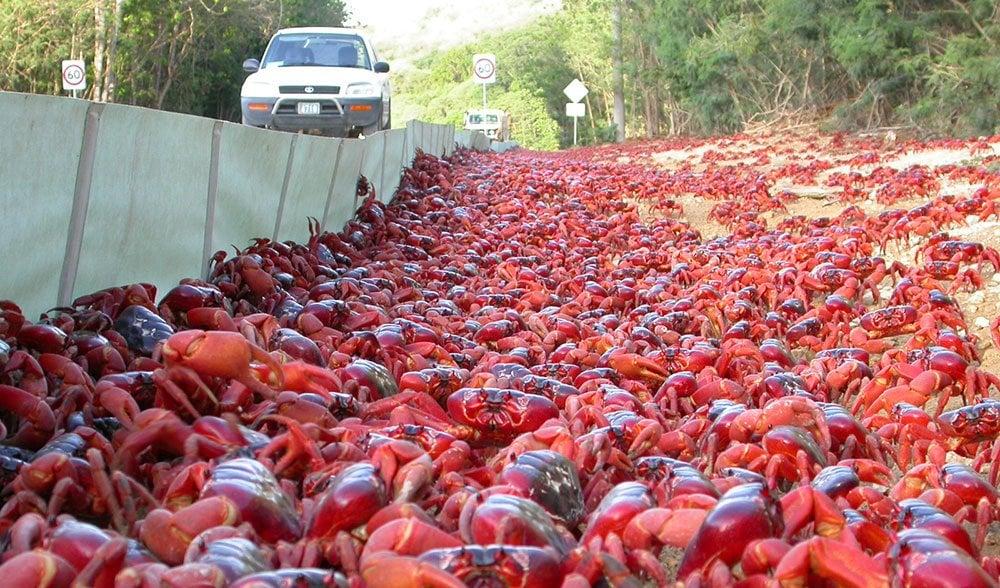 Christmas Island red crab migration