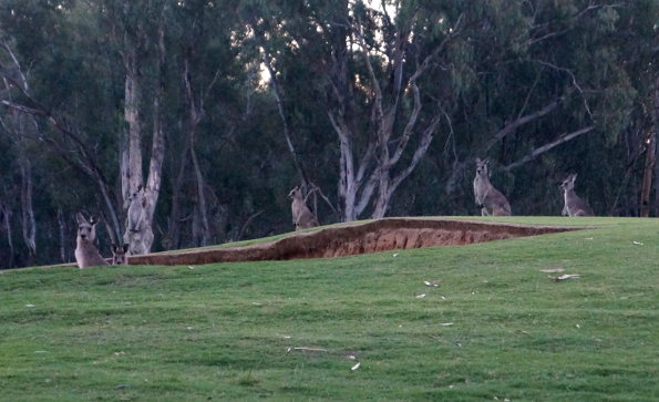 Some locals checking out a bunker on the Murray Course at Yarrawonga