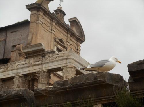 A Seagull in the Roman Forum in Rome