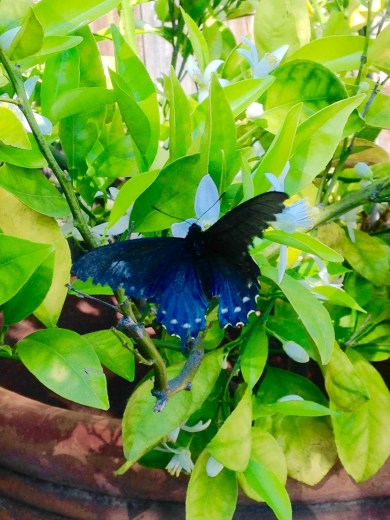 Pipevine Swallowtail Butterfly and Citrus Tree