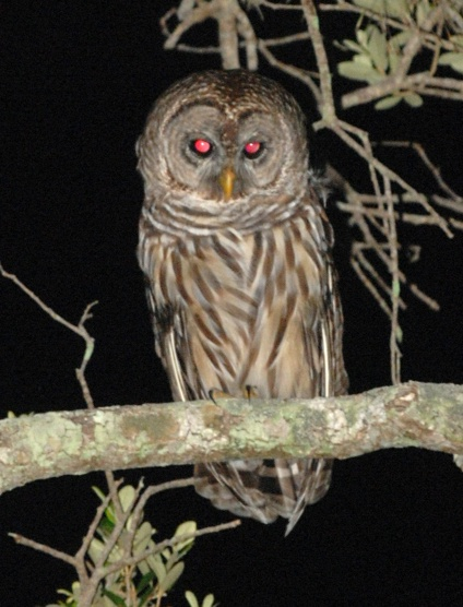 Picture of owl in tree