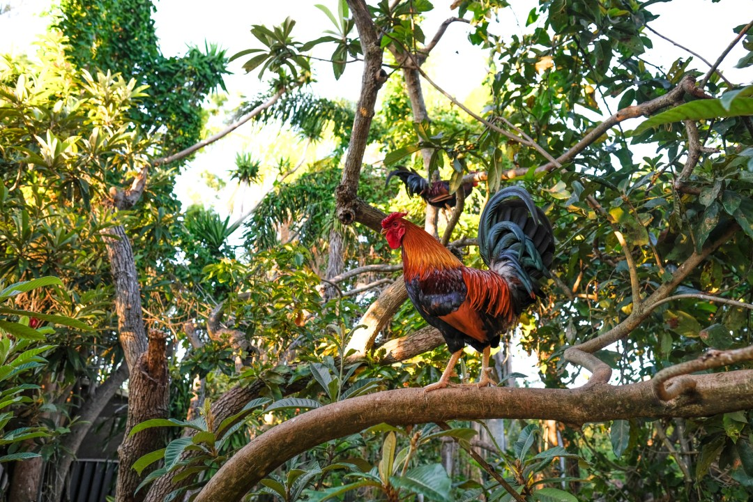 A rooster in a tree!