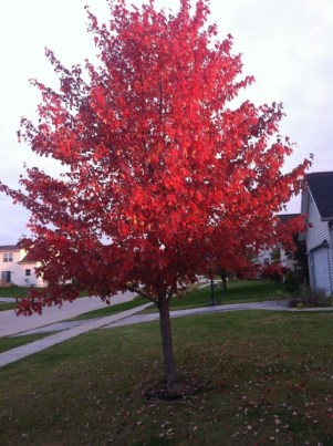 Colors of a tree during fall in Iowa