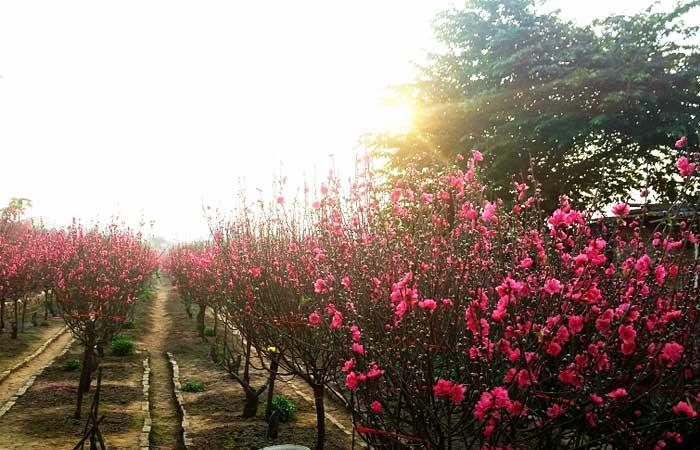 nouvel an vietnamien fleur pecher