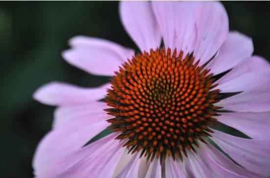 West Virginia flower