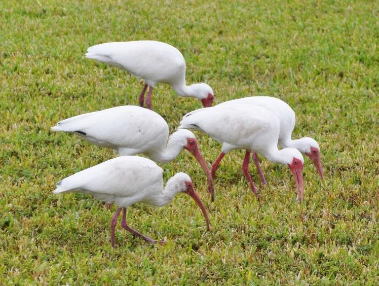 Florida ibises