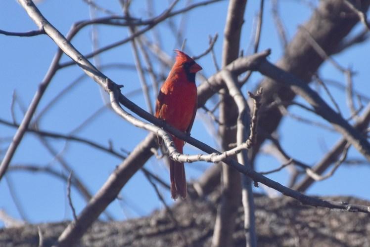 Kentucky cardinal