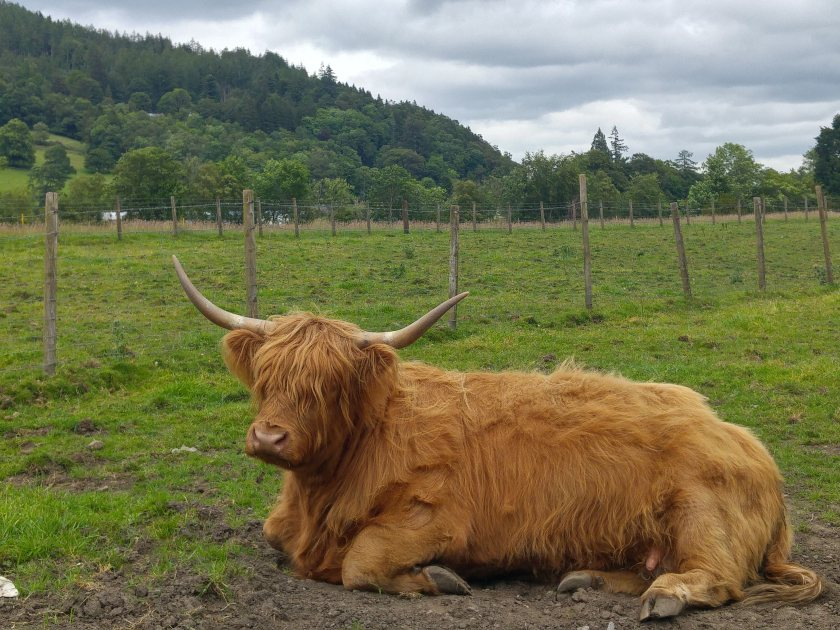 Photo of Highland cattle