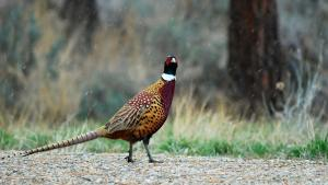 photo of pheasant on road