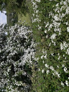 photo of spring hedgerow