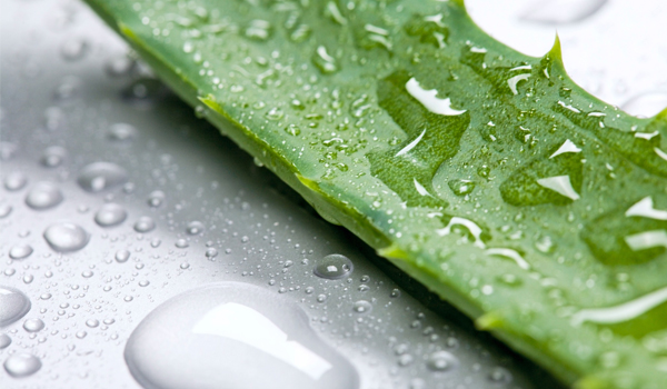 Aloe Vera - Home remédios para sarna