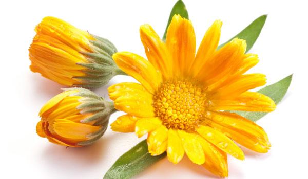 Calendula - Home remédios para Celulite