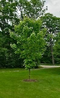 Sam's maple tree -- looking so healthy!