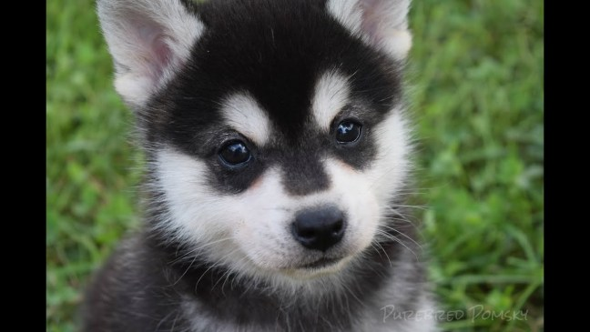pomsky puppy for fun photo friday post