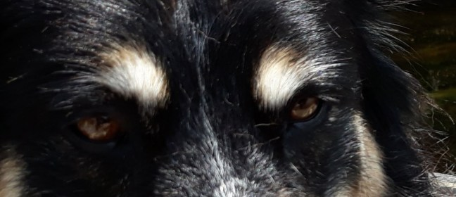 Close-up of tri-color dog eyes and eyebrows