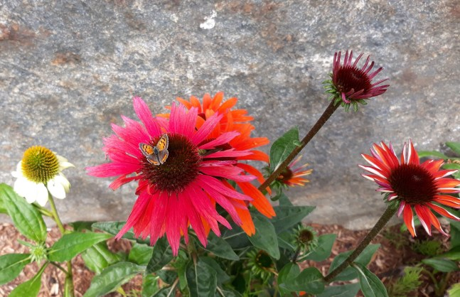 tiny small orange black butterfly on pink coneflower
