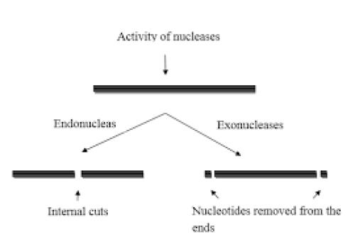 CRISPR - endo v exo cuts