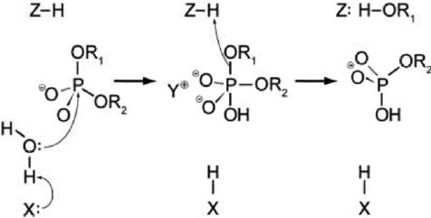 CRISPR - phosphodiester bond cleavage