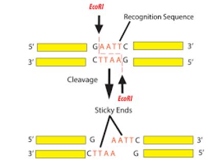 CRISPR - restriction digest