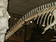 vestigial whale legs