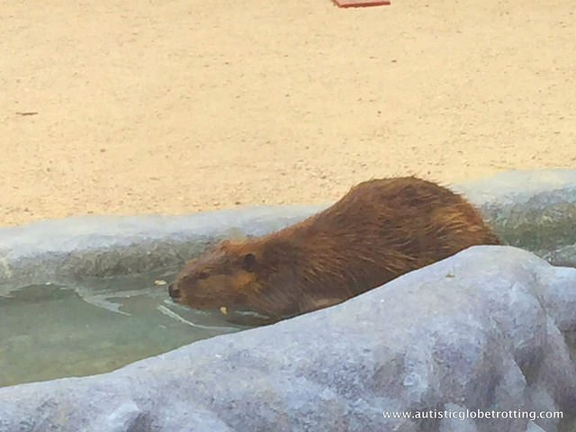 Family Fun at the California Moorpark Teaching Zoo beaver
