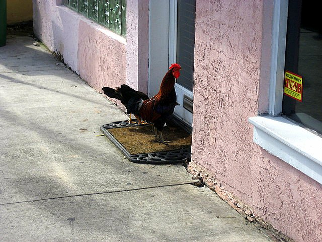 Taking Kids to the Hemingway House Museum rooster