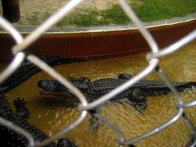 Five Family Friendly Fort Lauderdale Experiences gator